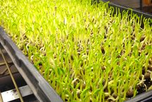 Microgreens and Sprouts