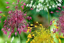 Bloemen Allium