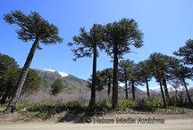 Chilean Ornamental Plant