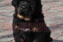 Satılık Tibetan Mastiff / Satılık Tibetian Mastiff yavrularımız http://tibet-mastifi.yavruilani.com/