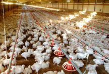 Chicken farms
