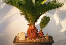 Bonsai Palm and Succulants