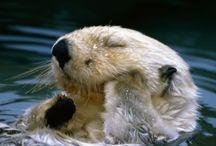 Tapety - zwierzęta - wydry