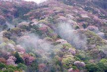 さくら / 日本を代表する花「さくら」。 その美しい姿を集めてみました。