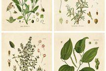 Botanical herbs poster