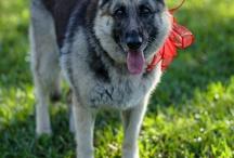 My German Shepherd  & other doggie stuff. Also in memory of my Jada Rue Von Back.❤️❤️❤️ / Dog / by Raquel Schuessler Back