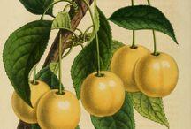 Staré ilustrace / staré ilustrace z herbářů, bestiářů a jiných ...