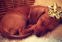 """"""" Gifts for my 5 mini dachshunds """" / looking for stuff I want to get them for x-mas."""