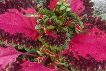 Coleus plant health benefits