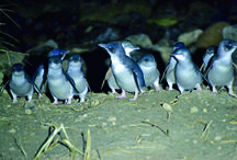 Blue Penguins Pukekura