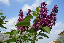 Taille arbre fleur