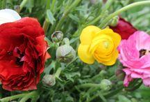 Ranunculus / Very popular flower in the LA Market