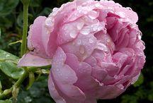 Roser / Planter