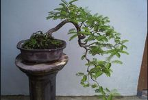Bonsai / Budidaya bonsai