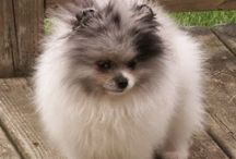 Pomeranian's / Pomeranians different grooming styles and colors