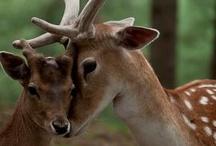 deer, reindeer & caribou