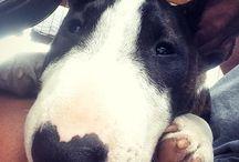 Bullterrier love