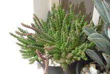 Meus cactos, suculentas e flores / Vários tipos de cactos e suculentas.