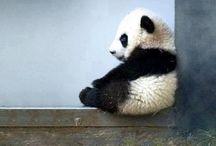 Panda Bears♥️