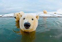 Polar Bear Photos and Videos