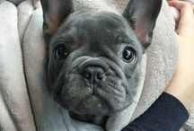 Dedicated to French Bulldogs
