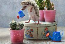 siili seisoo, kastelee kaktusta