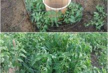 Gardens - Tomatoes