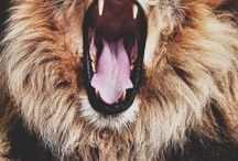 Animals / Lion
