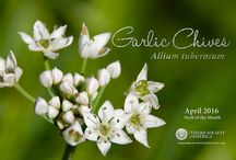 Chives, Garlic or Chinese / by Herb Society of America