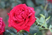 Tommy's Rose / Tommy's Rose is a new rose breed to help commemorate and remember those brave soldiers who fought and died during The Great War.