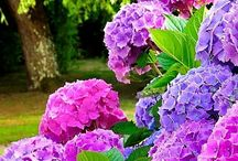 Pasta  de flores  Hortência