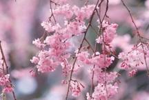 TREE - CHERRY TREE