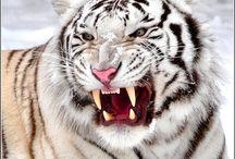 animals / tiger