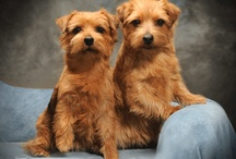 Norfolk & norvich terriers