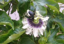 Cultivo do maracujá no jardim
