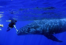 Scuba Diving in Tahiti / Tahiti is paradise both on land and underwater.  It is known as the BIG FISH capital of the world.
