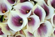 Picasso Calla Lily Weddings