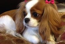 I love cavalier king !! / I will have one ... Or two ... Or more !
