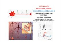 MP1 système nerveux