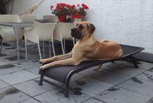 Duitse dog Zack / Mijn hond Zack geboren 18 september 2012