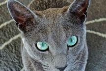 mazlíci - kočky - Bastian Shiva SapphireDream a Mišures