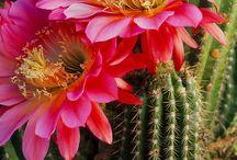 Bellos Cactus