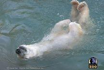 Oso Polar (relax)