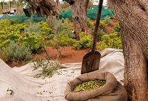 The Olive Crop
