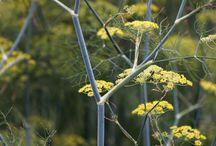Perennial herbaceous species