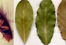 folha da oliveira