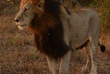 Lions: Matimba pride