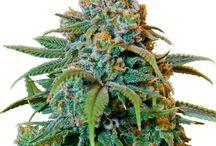 Kola's / Pictures of extraordinary Cannabis and Medical Marijuana Plants