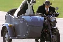 animals rides with human or pulls a vehicle with human