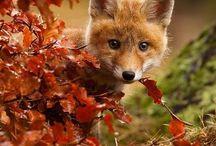 Foxy Loxys